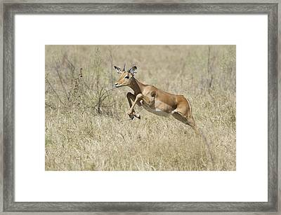 Impala Leaping Through Savanna Framed Print by Richard Berry