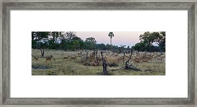 Impalas Aepyceros Melampus Running Framed Print by Panoramic Images