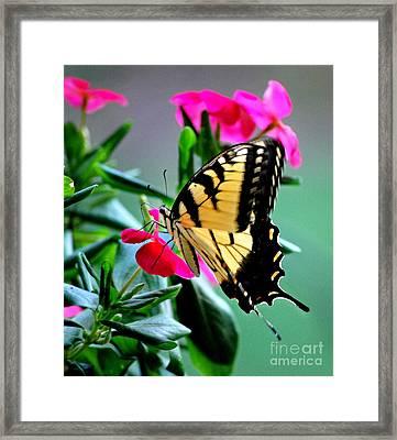 Impatient Swallowtail Framed Print