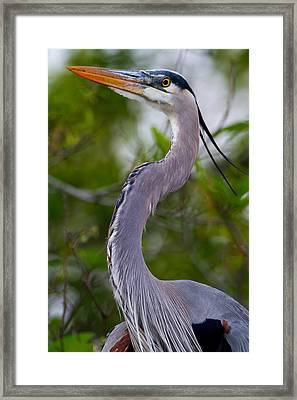 Imperial Great Blue Heron Framed Print
