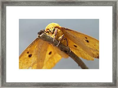 Imperial Moth Framed Print