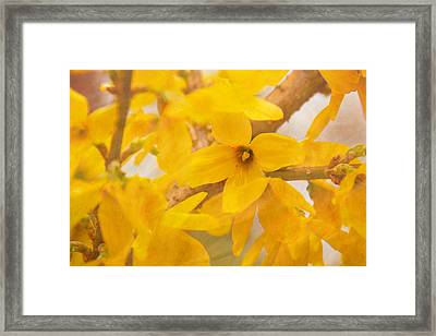 Framed Print featuring the photograph Impressionist Forsythia by Jemmy Archer