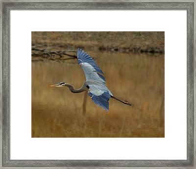 Impressive Wings Heron - C1940d Framed Print by Paul Lyndon Phillips