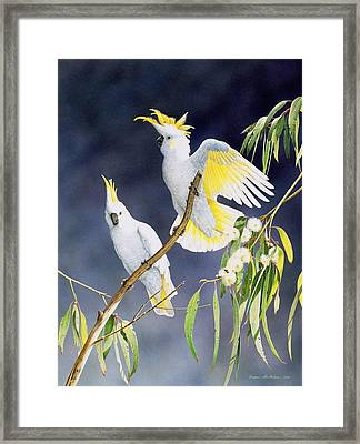 In A Shaft Of Sunlight - Sulphur-crested Cockatoos Framed Print