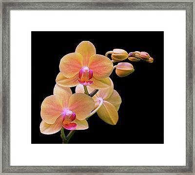 In Bloom Framed Print by Rona Black
