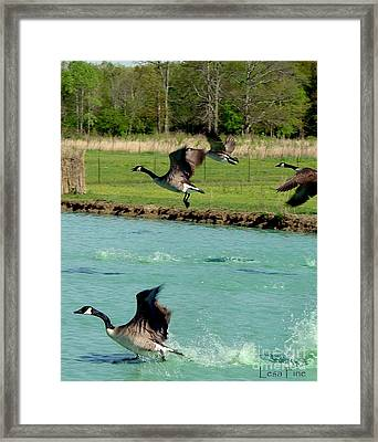Canadian Geese In Flight Framed Print by Lesa Fine
