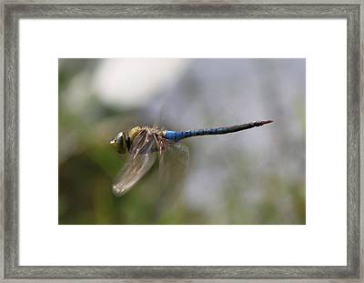 Dragonfly In Flight  Framed Print