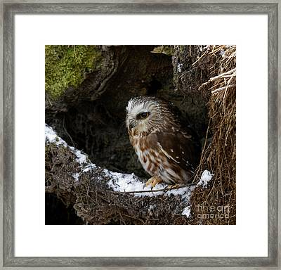 In Hiding Saw Whet Owl In A Hollow Stump Is Part Of The Birds Of Prey Fine Art Raptor Wildlife Photo Framed Print by Inspired Nature Photography Fine Art Photography