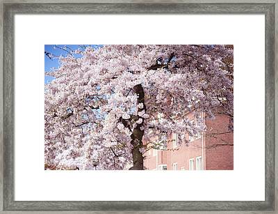 In Its Glory. Pink Spring In Amsterdam Framed Print by Jenny Rainbow