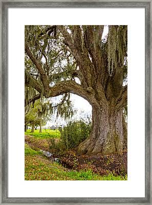 In Praise Of Live Oaks 2 Framed Print by Steve Harrington