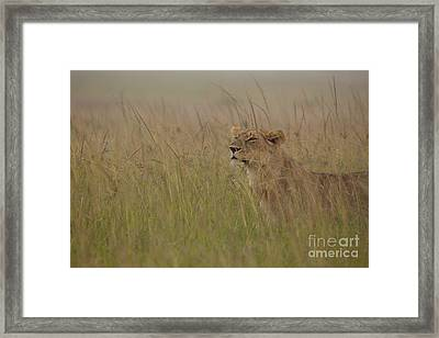 In Search Of Cubs Framed Print by Ashley Vincent