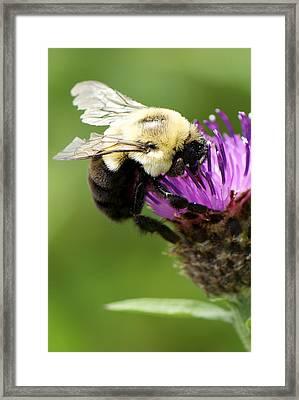 Buzz Framed Print by Julie Smith