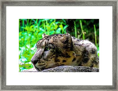 In The Eye Of A Leopard Framed Print