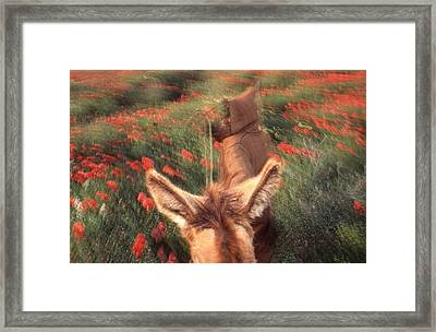 In The Poppy Fields Framed Print by Rolf Ashby