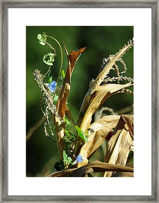 In The Yellow Corn Framed Print