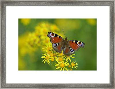 Inachis Io Butterfly On The Yellow Flowers Framed Print