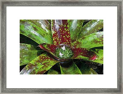 Inca Bromeliad Detail Framed Print by Gerry Ellis