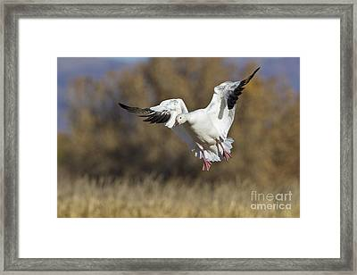 Framed Print featuring the photograph Incoming Snow Goose by Bryan Keil