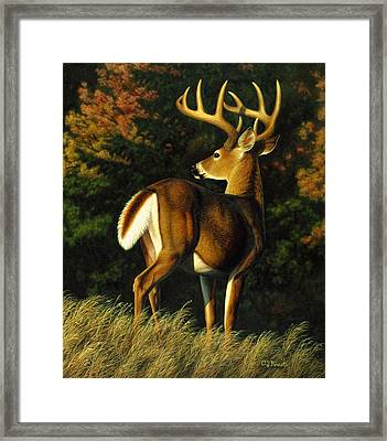 Whitetail Buck - Indecision Framed Print by Crista Forest