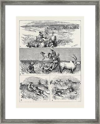India, Hunting Black Buck With The Cheetah In Baroda 1 Framed Print