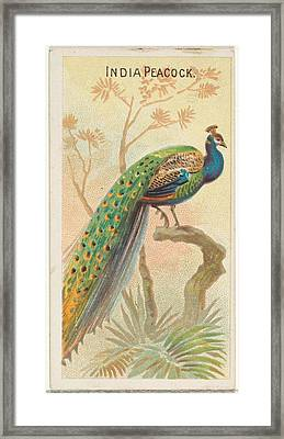 India Peacock, From The Birds Framed Print by Issued by Allen & Ginter