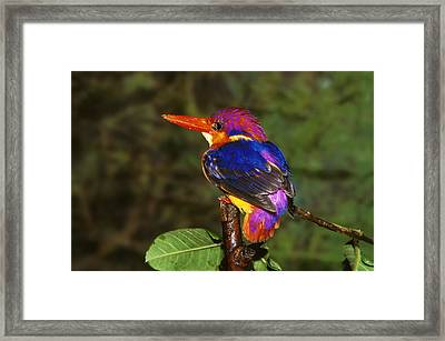 India Three Toed Kingfisher Framed Print by Anonymous