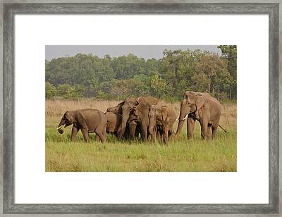 Indian Asian Elephant, Herd Framed Print by Jagdeep Rajput