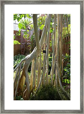 Indian Banyan Tree (ficus Benghalensis) Framed Print by Jim West