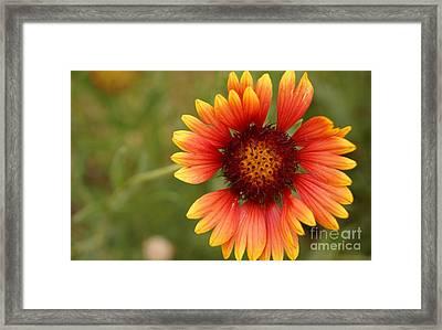 Indian Blanket Flower Framed Print