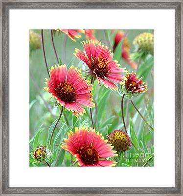 Indian Blanket Wildflowers Framed Print
