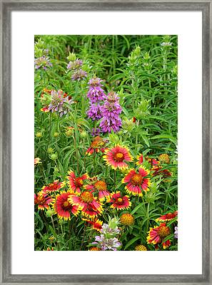 Indian Blankets And Lemon Horsemint Framed Print by Lynn Bauer