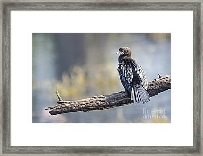Indian Cormorant Framed Print