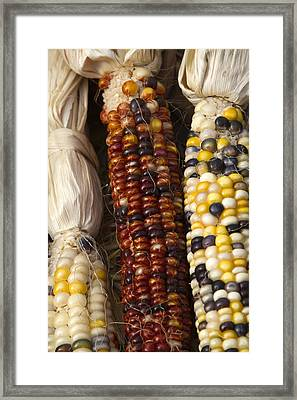 Indian Corn Framed Print by Rebecca Cozart