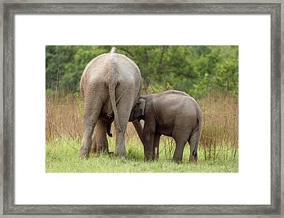 Indian Elephant Suckling Framed Print