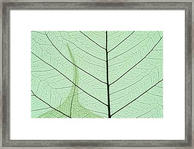 Indian Fig, (ficus Religiosa Framed Print by Kevin Schafer