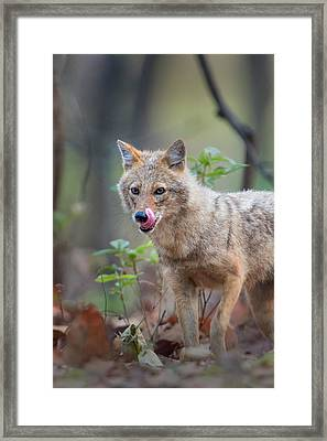 Indian Jackal Canis Aureus Indicus Framed Print by Panoramic Images