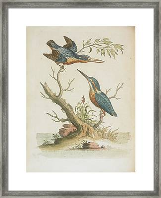 Indian Kingfishers Framed Print