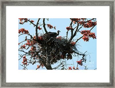Indian Longbilled Vulture Framed Print by Art Wolfe