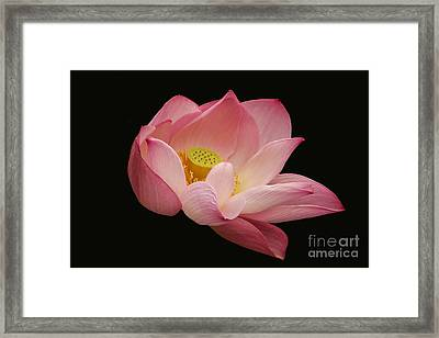 Indian Lotus On Black --- Sacred Light Framed Print