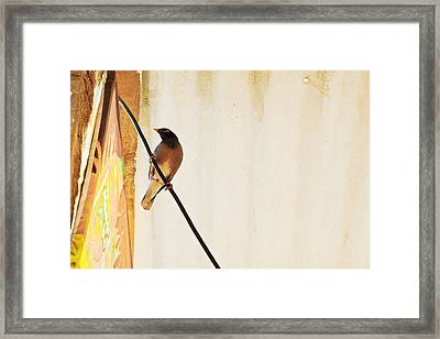 Indian Myna Comes To Dinner Framed Print by Kantilal Patel