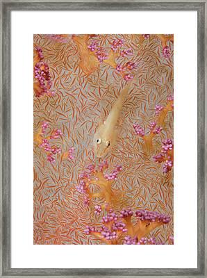 Indian Ocean, Indonesia, Fakfak, Triton Framed Print