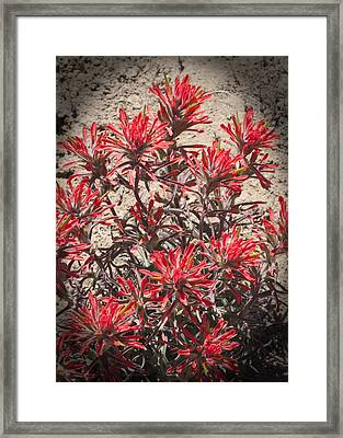 Indian Paint Brush Framed Print by Daniel Hebard