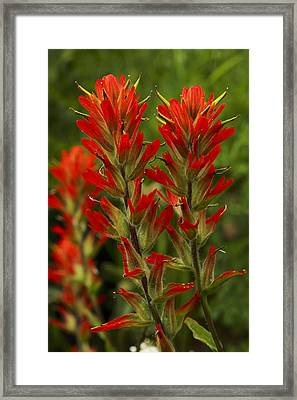Indian Paintbrush Framed Print by Alan Vance Ley
