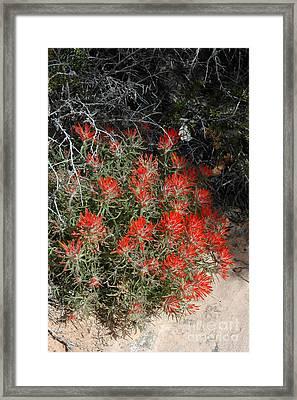 333p Indian Paintbrush Flower Framed Print