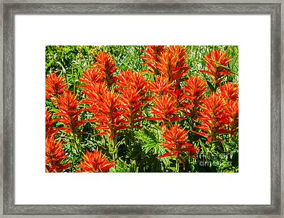 Indian Paintbrush Framed Print by Sue Smith