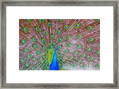 Indian Peacock Framed Print by Deena Stoddard