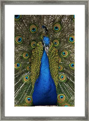 Indian Peafowl Male In Full Display Framed Print by Hiroya Minakuchi