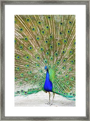 Indian Peafowl (pavo Cristata Framed Print by Larry Ditto