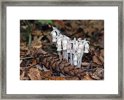 Indian Pipes And Pine Cone Framed Print