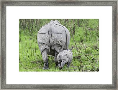 Indian Rhinoceros And Week Old Calf Framed Print